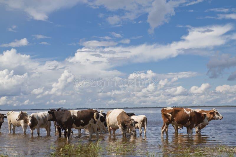 Vaches à l'arrosage photographie stock