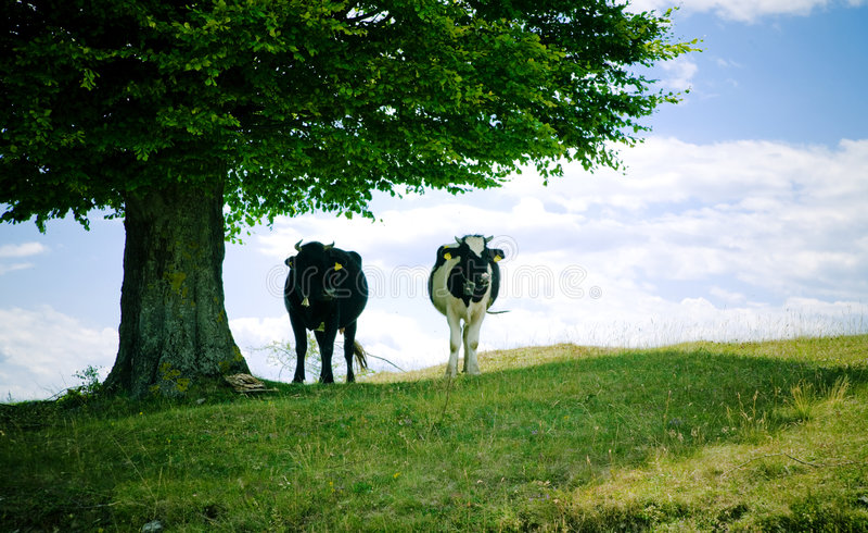 Vaches à l'ombre photos stock