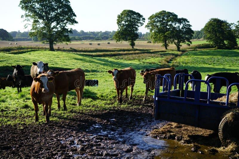 Vaches à la cuvette d'alimentation photo libre de droits