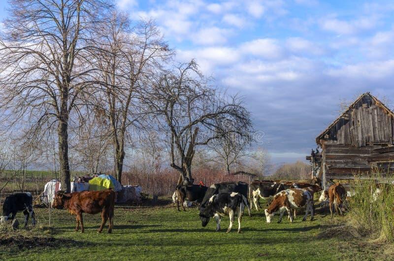 Vaches à la ferme photos libres de droits