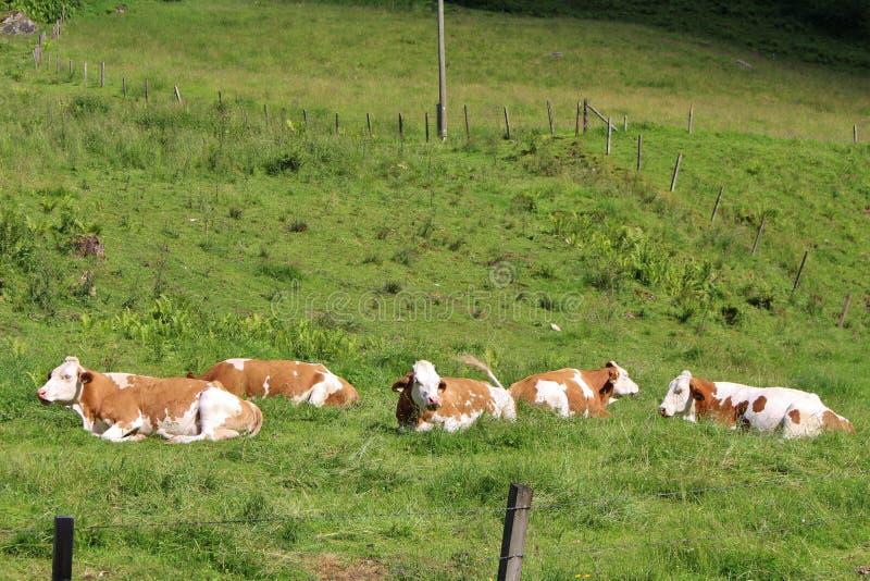 Vaches à la ferme image libre de droits