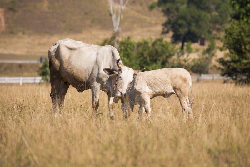Vaches à la montagne chauve ou à la montagne d'herbe dans la province de Ranong photos libres de droits