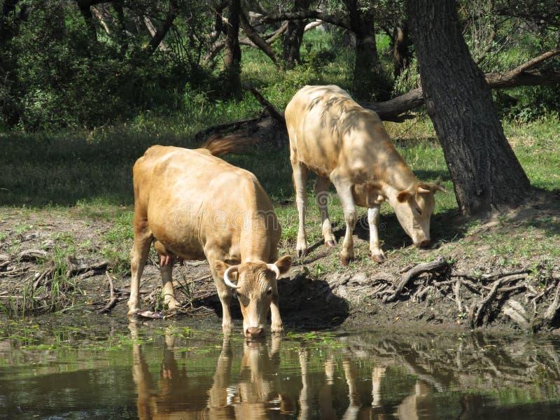 Vaches à la rivière photo libre de droits