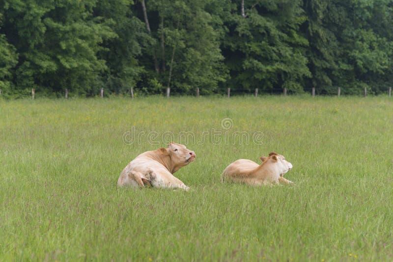 Vaches à limousine en été photo stock
