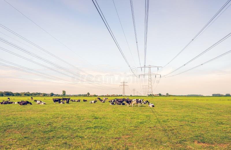 Vaches à rumination dans un pré sous les lignes à haute tension photographie stock libre de droits