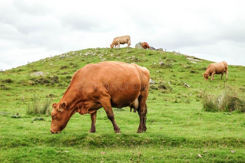 Vaches écossaises photographie stock libre de droits