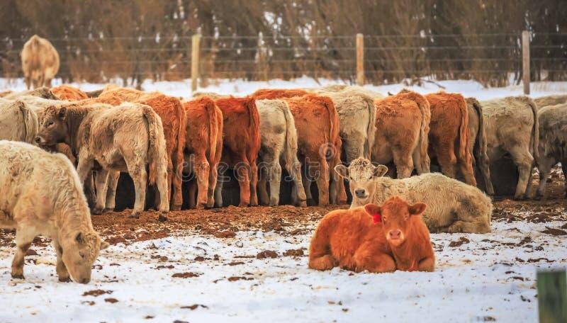 Vaches alignées pour le déjeuner photos libres de droits