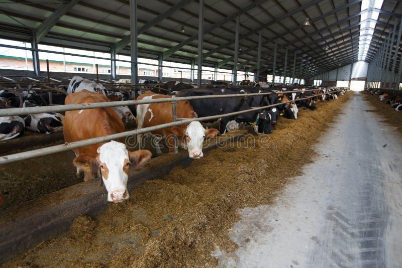 Vaches alimentant dans la grande étable image libre de droits