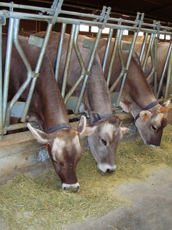 Vaches alimentantes photos libres de droits