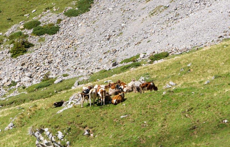 Vaches alpines ayant le repos sur un pré Région de Lucerne, Suisse photo libre de droits