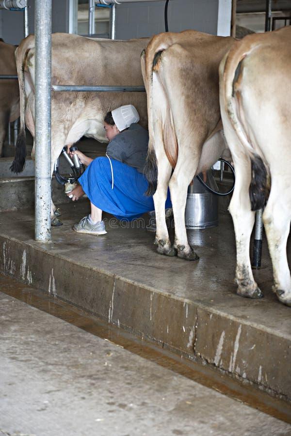 Vaches amish à Miling de femme images libres de droits