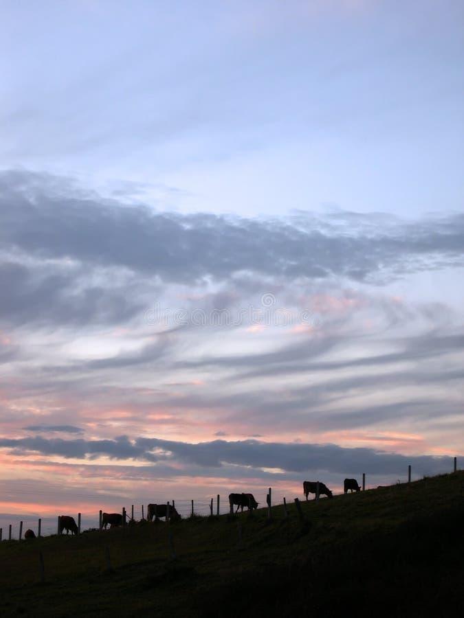Vaches au coucher du soleil images libres de droits
