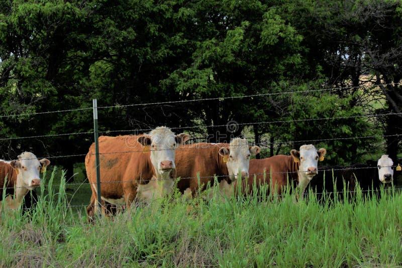 Vaches au Kansas Hereford dans un pâturage avec l'herbe verte image libre de droits