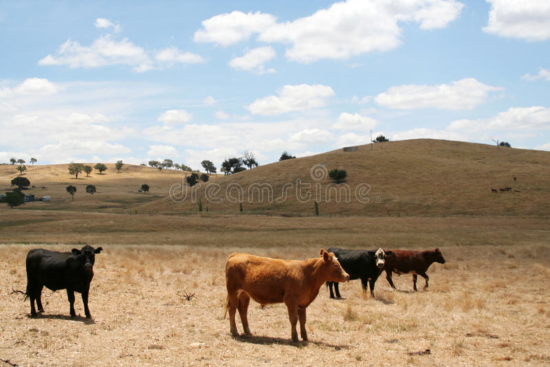 Vaches - Australie photo stock
