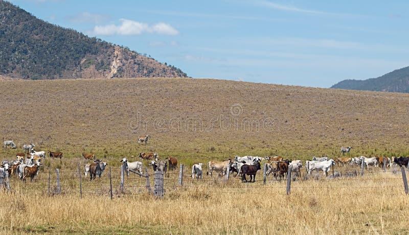 Vaches australiennes à cheptels bovins sur le ranch photographie stock libre de droits
