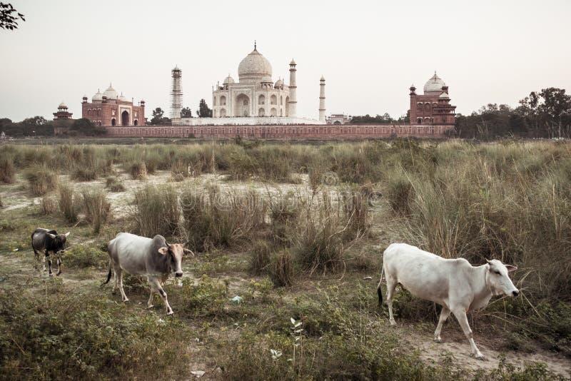 Vaches avec Taj Mahal sur le fond photo stock