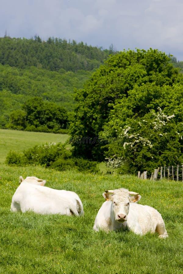 vaches, Bourgogne, France photo libre de droits