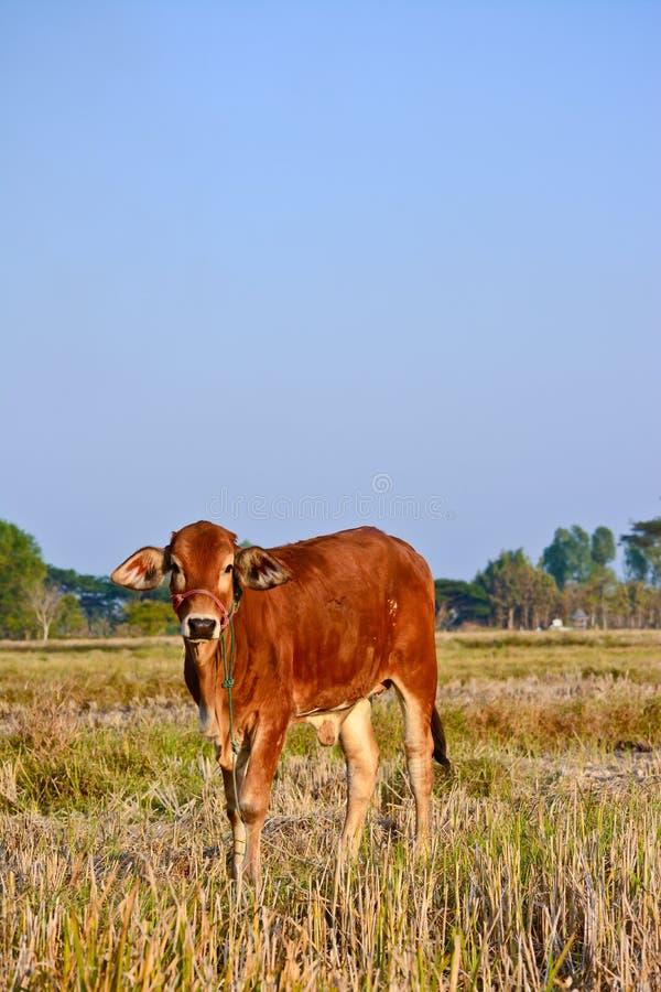 Vaches brunes thaïlandaises dans le domaine de riz photos stock