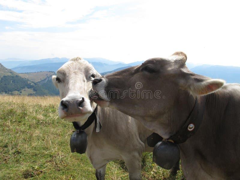 Vaches dans l'amour photographie stock libre de droits