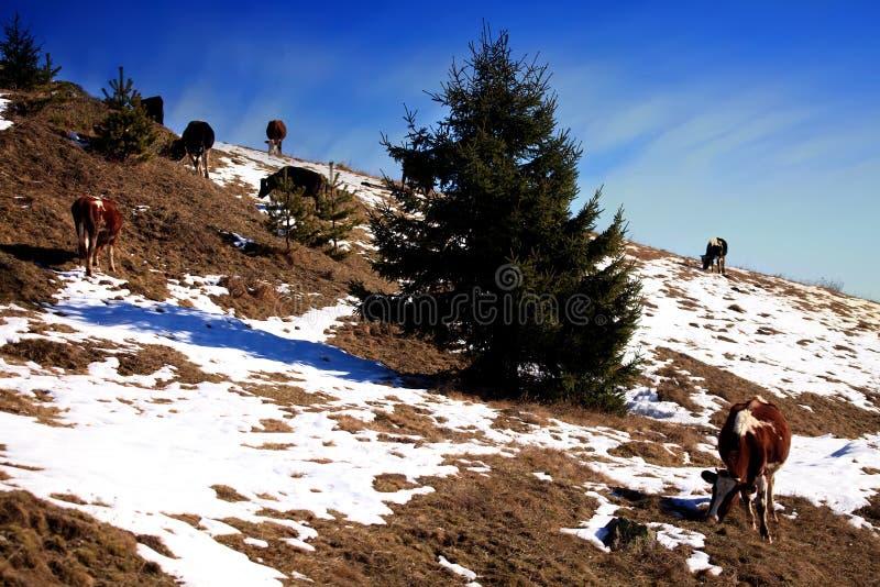 Vaches dans la montagne photos stock
