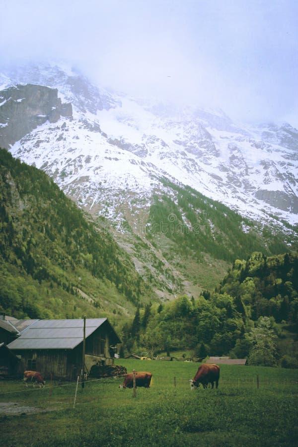 Vaches dans Lauterbrunnen, Suisse photos libres de droits