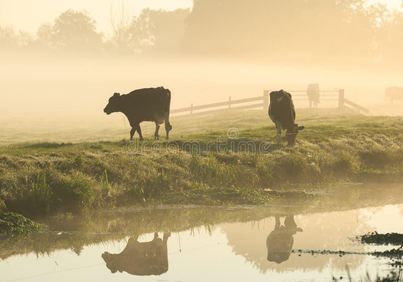 Vaches dans le brouillard photo stock