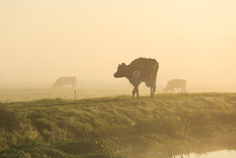 Vaches dans le brouillard photos libres de droits