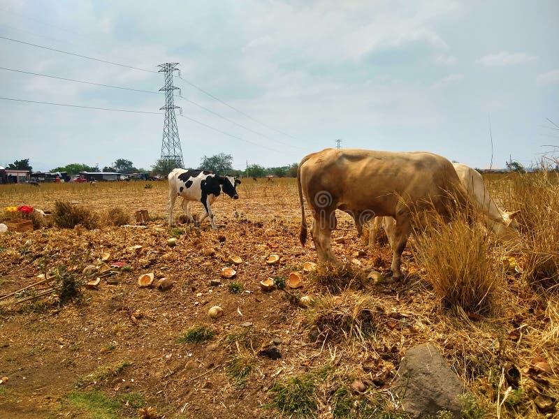 Vaches dans le domaine d'herbe photo stock