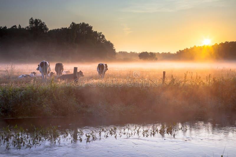 Vaches dans le domaine en brouillard de début de la matinée images libres de droits