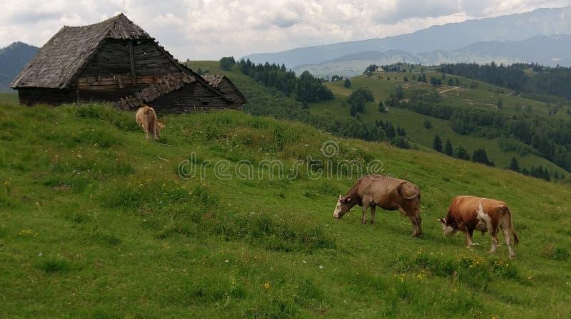 Vaches dans le domaine, Moieciu, son, Roumanie photos stock