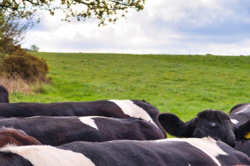 Vaches dans le domaine sur une photo de matin de ressort des dos photographie stock