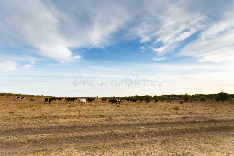 Vaches dans le pré d'automne images stock