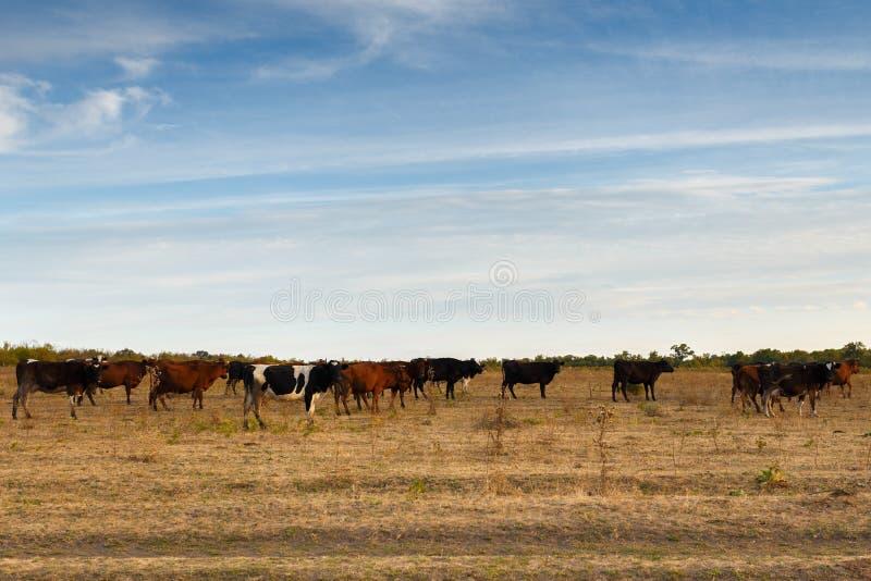 Vaches dans le pré d'automne photo stock