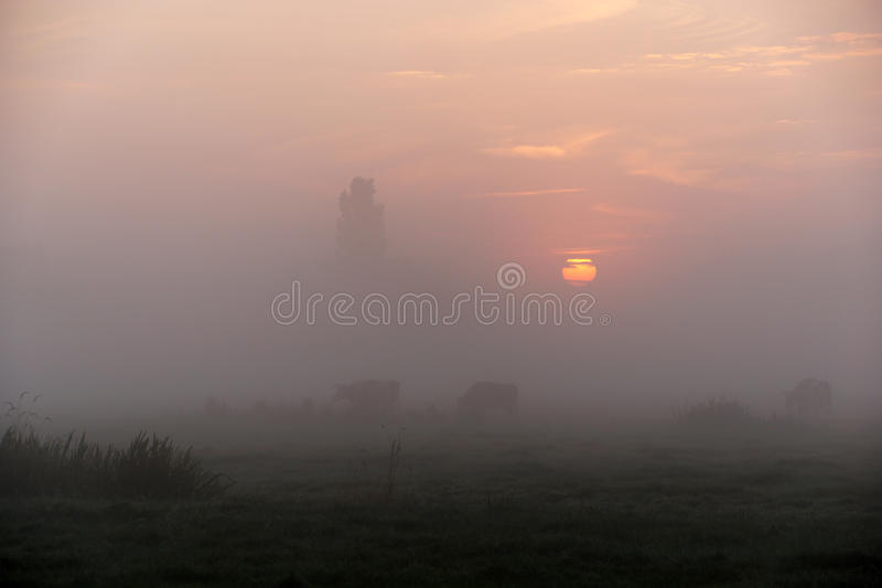 Vaches dans Misty Morning images stock