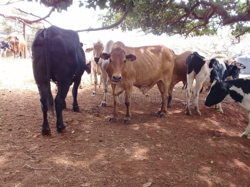 Vaches dans un institut de recherche animal photographie stock