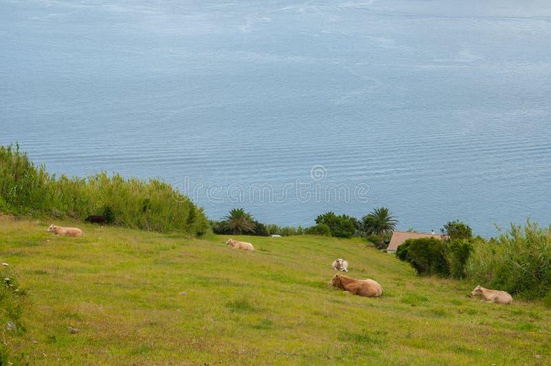 Vaches dans un p?turage vert photographie stock libre de droits