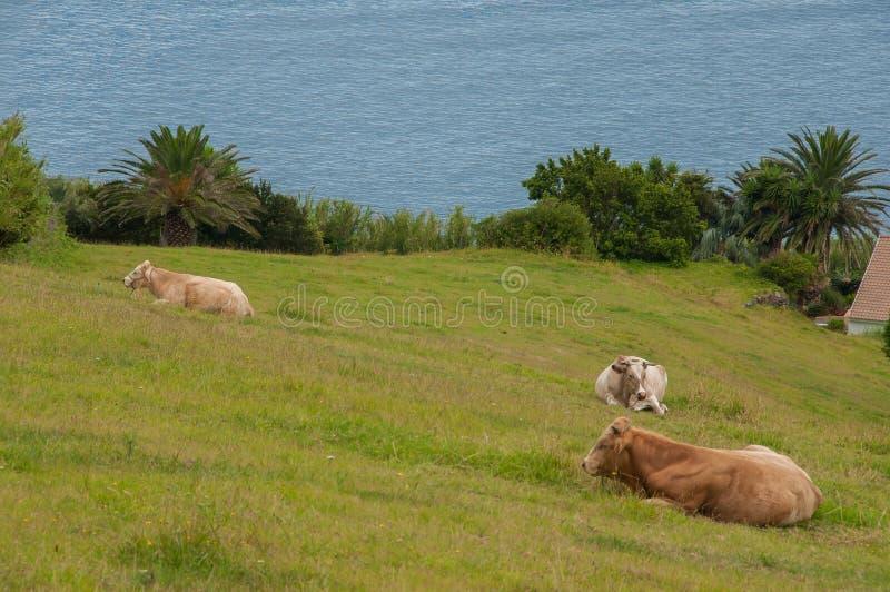 Vaches dans un p?turage vert photo libre de droits