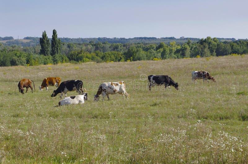 Vaches dans un pré images libres de droits