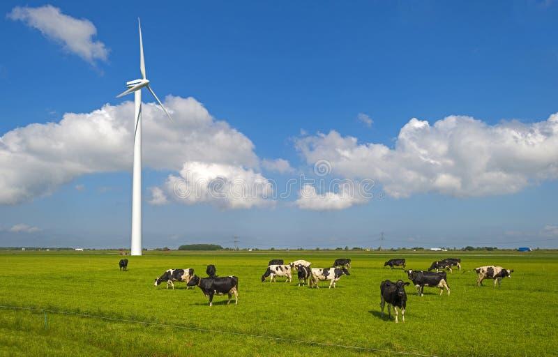 Vaches dans un pré au soleil image libre de droits