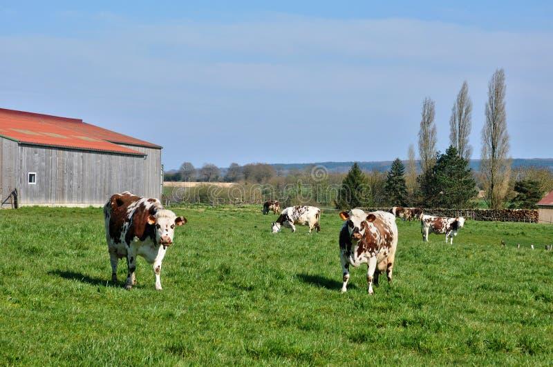 Vaches dans un pré dans Normandie images libres de droits