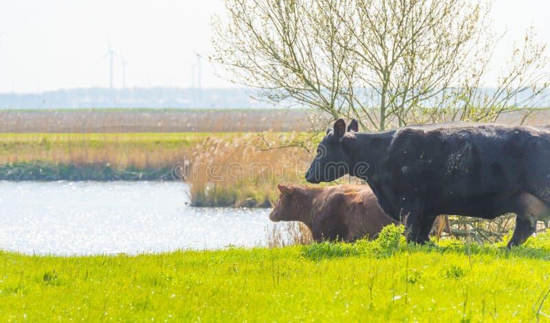 Vaches dans un pré vert le long d'un lac au soleil photos libres de droits
