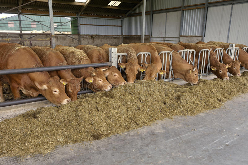 Vaches dans une grange image libre de droits