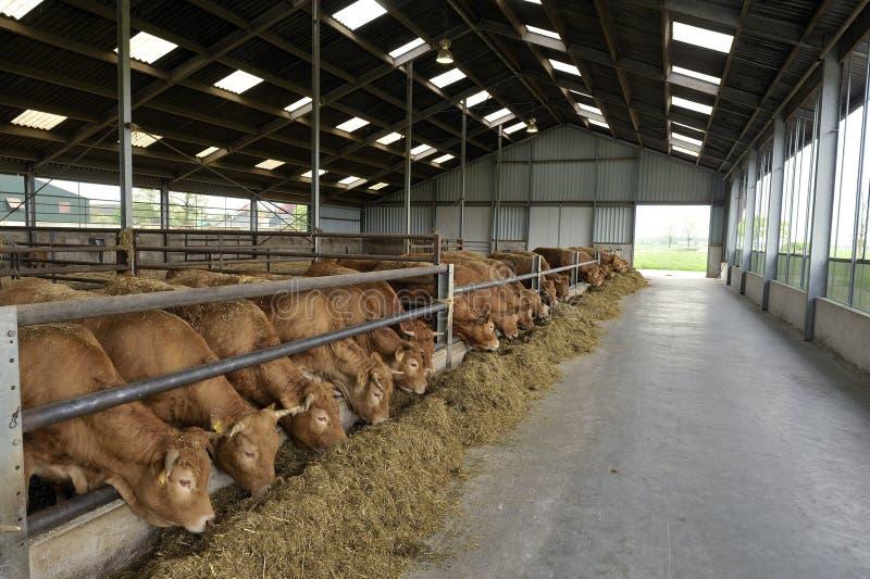 Vaches dans une grange image stock