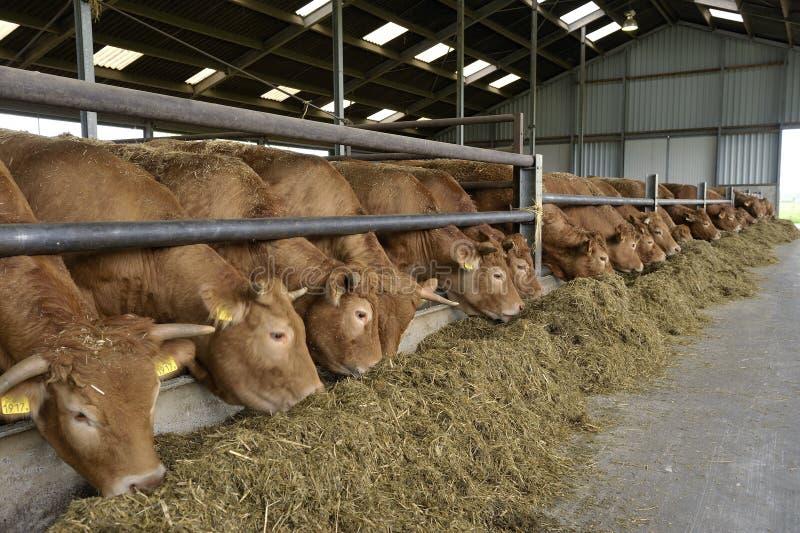 Vaches dans une grange photos stock