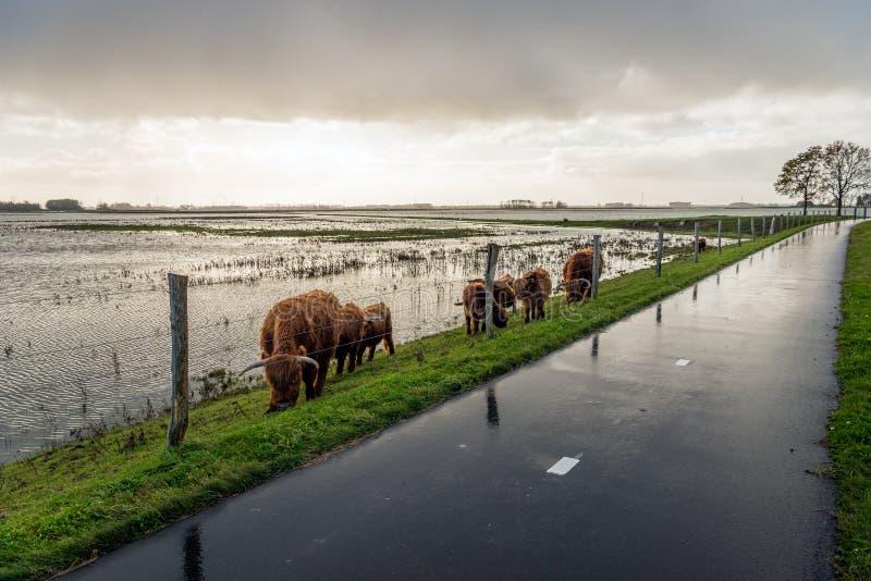 Vaches des montagnes frôlant derrière une barrière sur la pente d'un embankme images stock