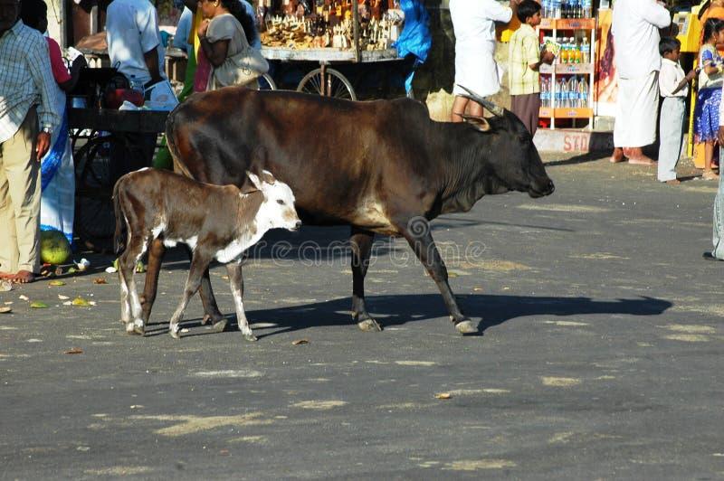 Vaches en Inde photos stock
