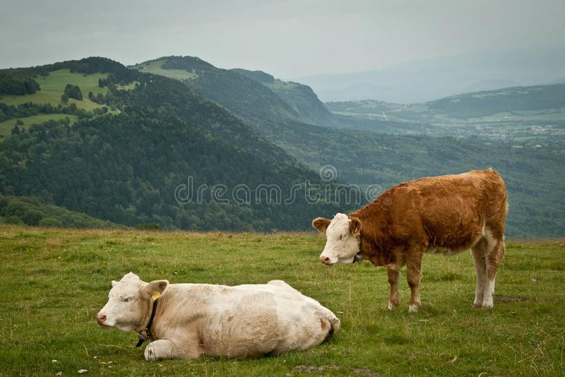 Vaches en La Croisette, Saleve photographie stock