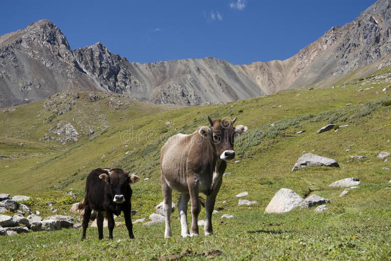 Vaches en le Kyrgyzstan photographie stock libre de droits