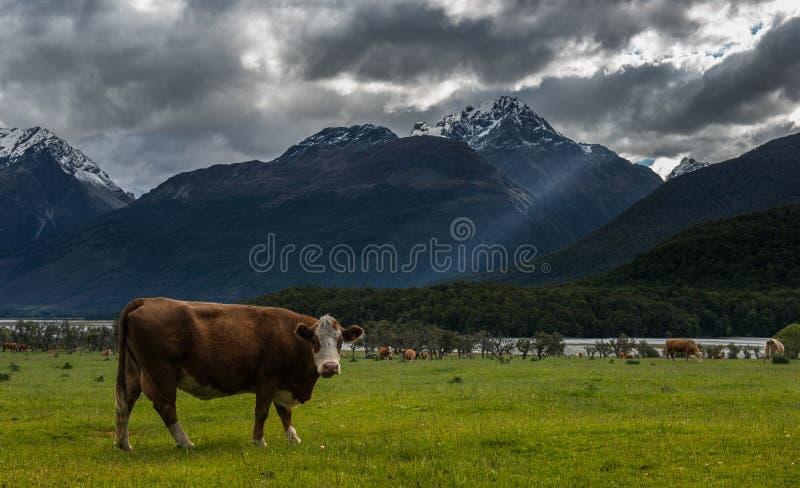 Vaches en Nouvelle Zélande. photographie stock