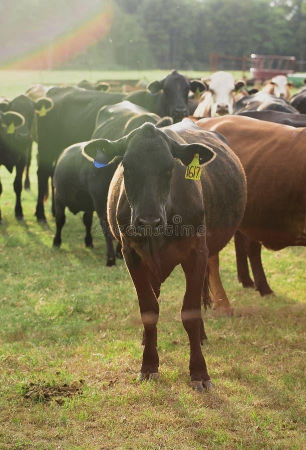 Vaches entendues parler dans un domaine photographie stock libre de droits